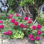 More tree peonies  -these in my garden in Maine   So very lush and plentiful https://t.co/U5Al1O1mHU