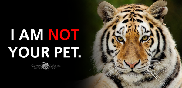 vegasrockdogsho: RT CWIntl: PSA: Big cats are NOT your pets. #StopTheTrade #SaveTigers https://t.co/GcuSu85UHi Update from vegasrockdogsho…