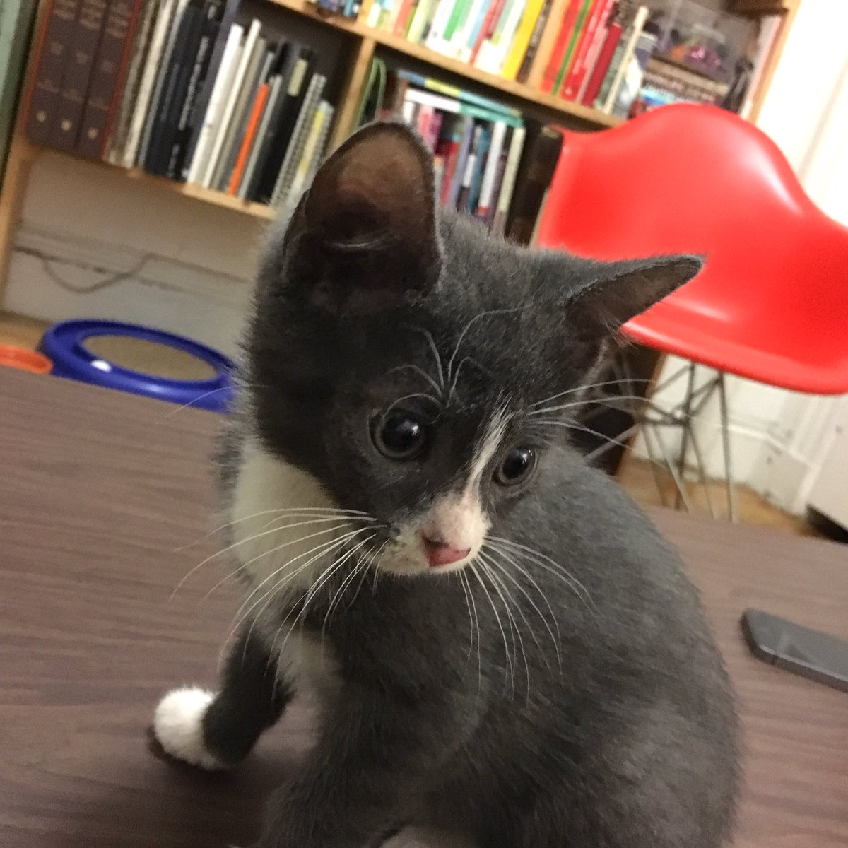 Brooklyn/NYC pals: Please adopt this wonderful kitten--I'm utterly heartbroken that I can't. (more info in photos) https://t.co/qjE0MSSbpR