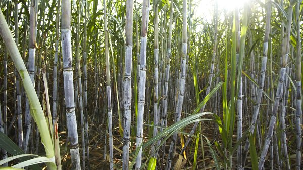 Government accused of subjecting cane farmers to double taxation