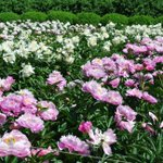 On today's https://t.co/PaKhJ8WIq0, photos of this year's beautiful peony garden at my farm. Take a look. https://t.co/0T4EkqBPoR