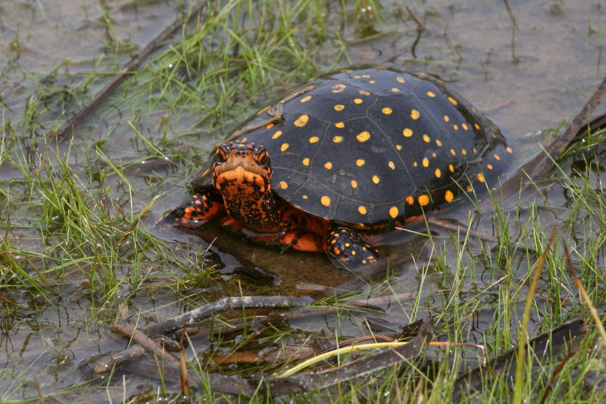 Poaching concerns for #Ontario's #endangered #turtles https://t.co/91oaMP12Pk https://t.co/nn2VkTpsiT