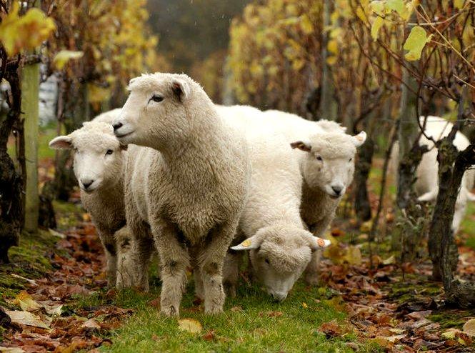 ブドウ畑には羊もいます!こちらはイギリスのワイナリー、ナイティンバーからの1枚。収穫後の畑に放牧されて、雑草をきれいにしてくれる子羊たち。羊もおなか一杯、人間も重労働をしなくて済むという良い関係が築かれています。 #ワイン https://t.co/FfDvoEu1sj