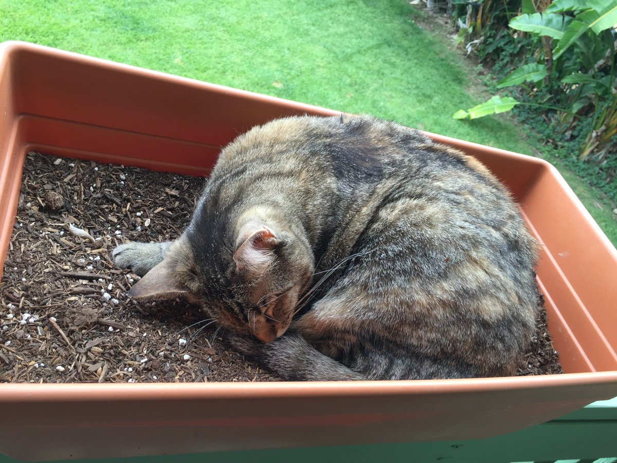 I planted catnip & grew a cat-nap. #cats #gardening https://t.co/x5vH2pGPdP