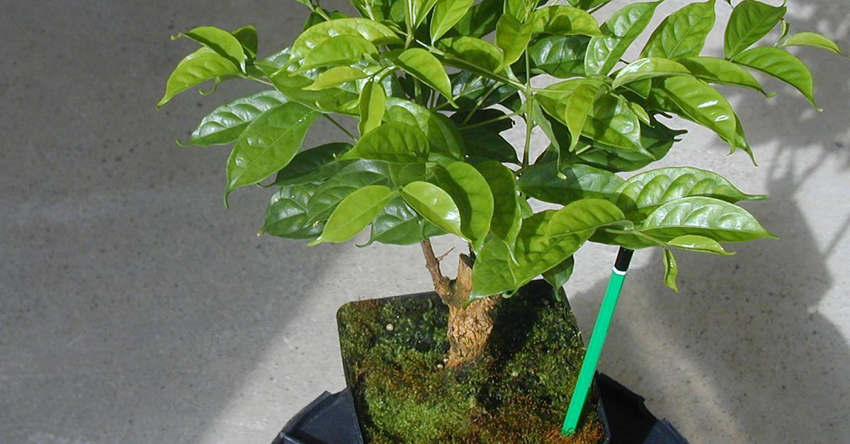 """Ботаничка Twitterissa: """"Кофе камерунский (Coffea charrieriana) единственный вид кофе, отличающийся почти полным отсутствием кофе"""