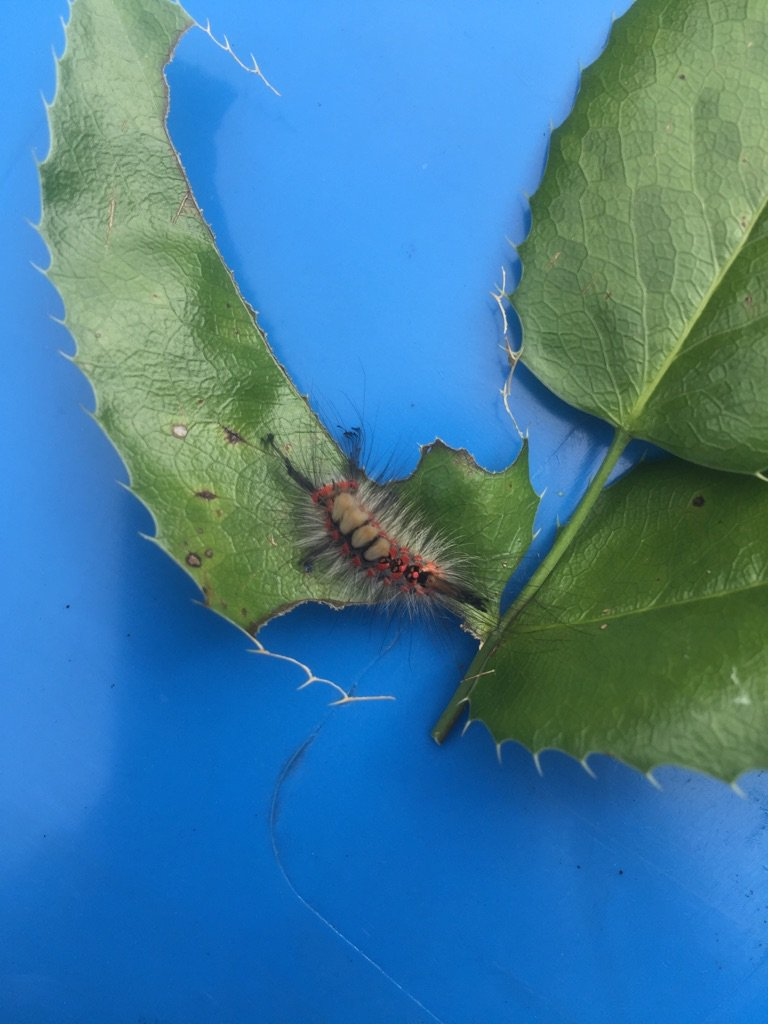 Hello Twitter. Insect identification help please! Found in garden recycling bin. https://t.co/OvidfZbWSk