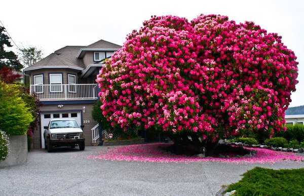 125 years old Rhododendron tree in Canada: https://t.co/DCXEFwyo8l