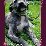 Brindle babe, needs a fabulous furever home plz All info ➡ https://t.co/RS6NNmaRTr #mondaymotivation @NWDogRescue https://t.co/TdtS3Z7O2Y