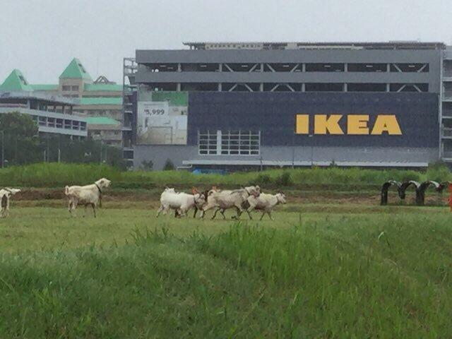 立川IKEAといえば手前のヤギ #so954 https://t.co/q9wPclknEM