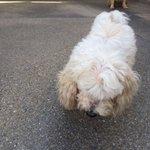 Se extravió mi perrito Toby. Poddle.No ve ni oye.Por la Av. Orinoco del Parral. @ManosXpatas @trafficVALENCIA https://t.co/xEUj1yIWze