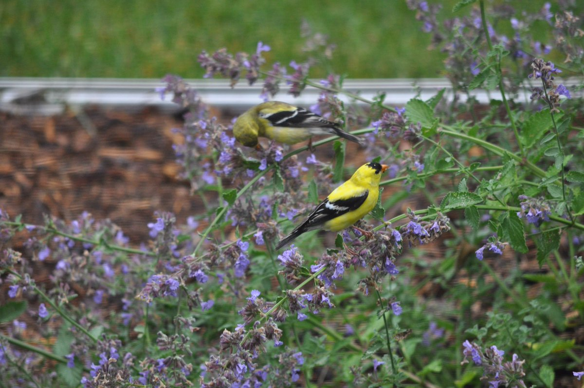 Gold finches enjoying the fading lavender. Have a good week. https://t.co/95kTIo6jJe