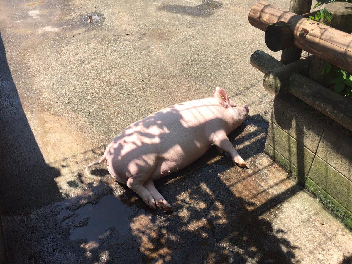 ぐっどいーぶにんぐ。今日も暑かった…。皆さんはだいじょぶですか?あしたは火曜日、お天気がちょっぴり心配だけど、サイボクにあそびに来てね!待ってます( ´ ▽ ` )ノ@saibokuham #saiboku #pig https://t.co/CfrYMIV6t8