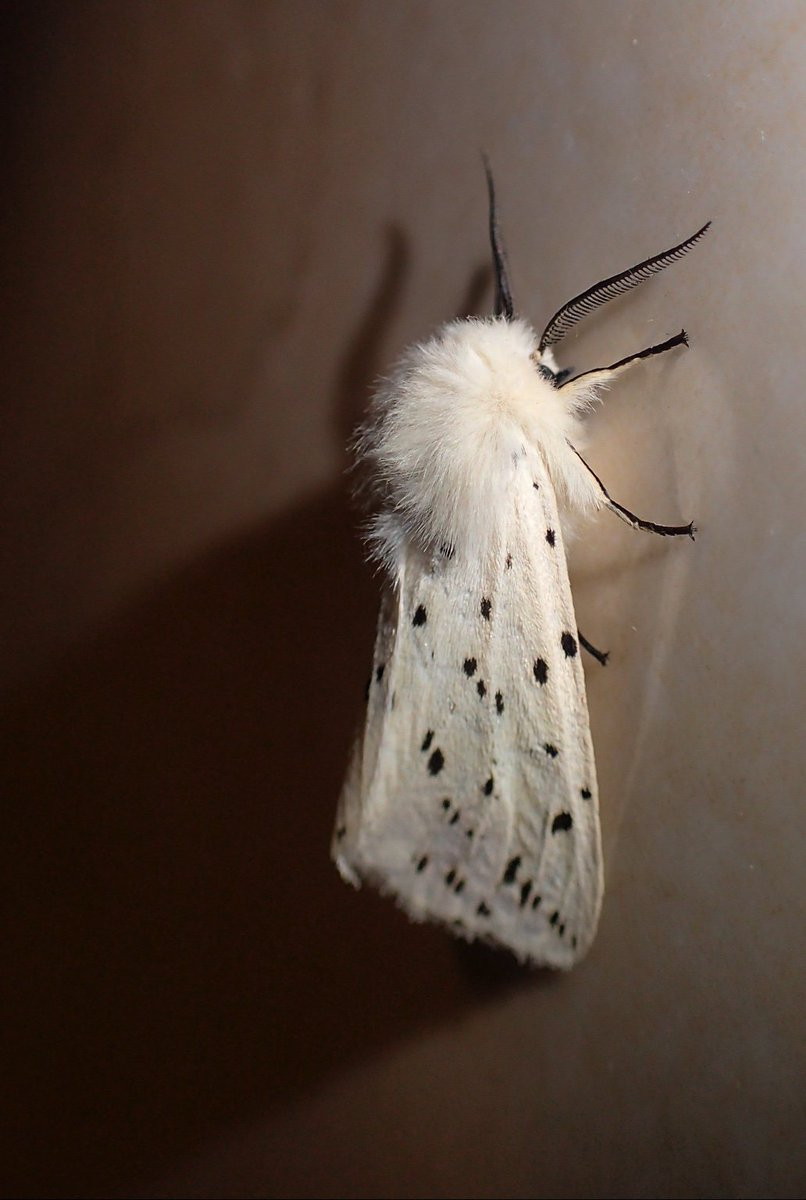 Feeling privileged… graced by the company of a white ermine. #teammoth https://t.co/e9ZNRFohog