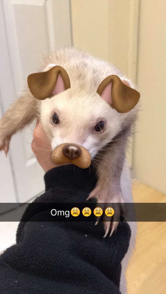 The snapchat filters worked on my ferret���� https://t.co/qx46E6Aqoj