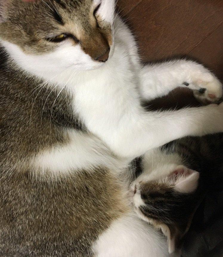 メンマを外に帰らせるわけにはいかないので通ってくれるといいなーと思ってたら、親ネコがすつかり部屋に居着いてしまった。一週間のうちに、一気に二匹のネコが同居することに!人間のパパよりネコのママと一緒の方がいいだろうから、やむなし? https://t.co/2SuzrCgj18