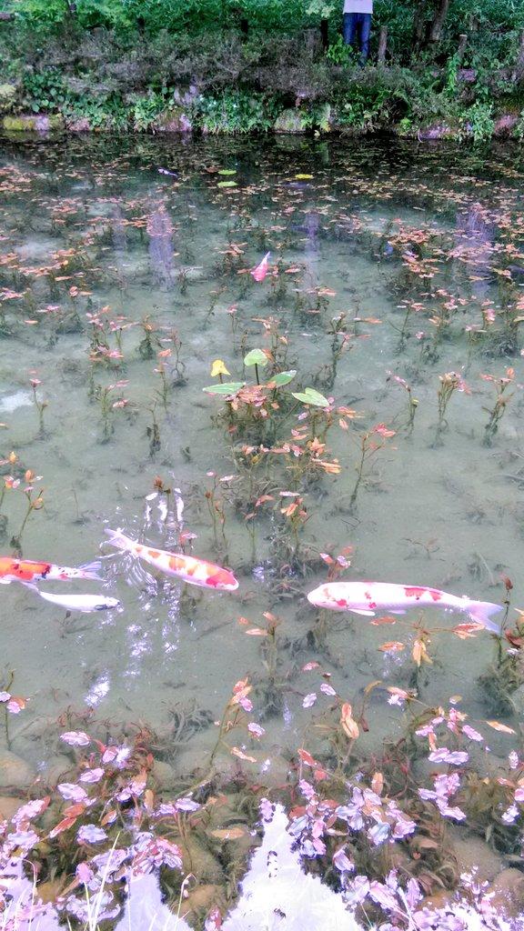 岐阜にある通称「モネの池」へ足を運んでみました。 「モネの池」、実物は睡蓮の池を鯉が泳ぐだけの有り触れた光景なのですが、写真として切り取ると……なるほど、確かにモネっぽい!  池底の淀みとそれ以外の対比でそう見えるのかも知れません。 https://t.co/nrGWfQp8TF