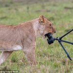 Curious lions chew up photographer's Sh193,000 camera at Maasai Mara