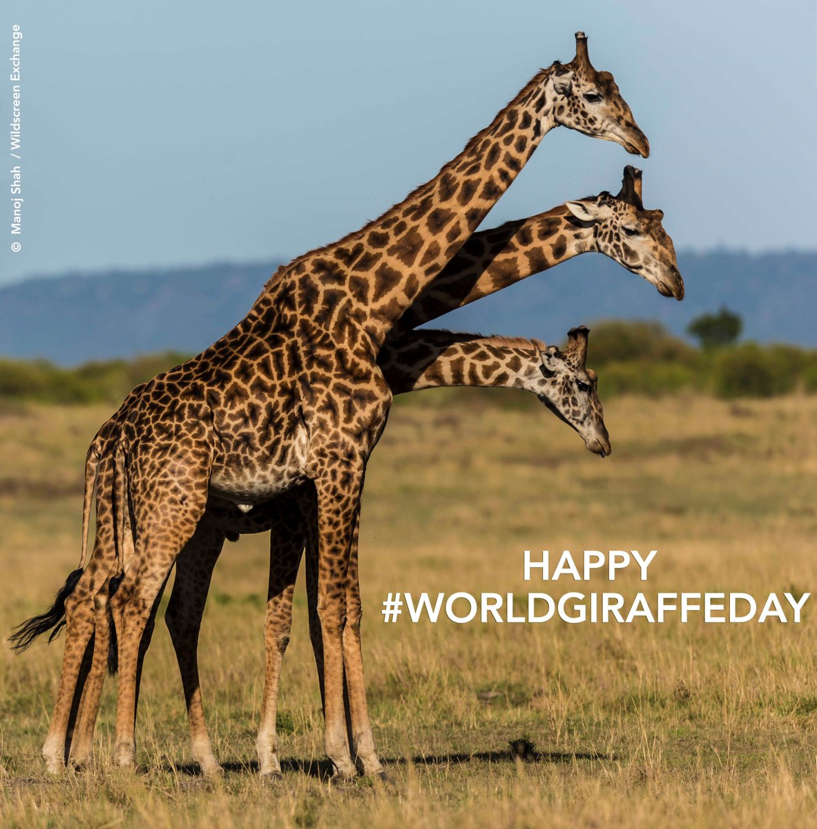 Happy #WorldGiraffeDay! RT to show your love for these spectacularly tall & graceful giants. https://t.co/Ka9FPFjTIz