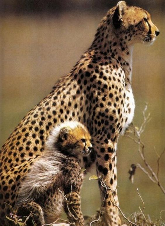 Omigosh Look At The Little Cheetah Cub fuzz and the look on its face! ... ''The circle of life''...♥... https://t.co/TQMJt4X3Eu