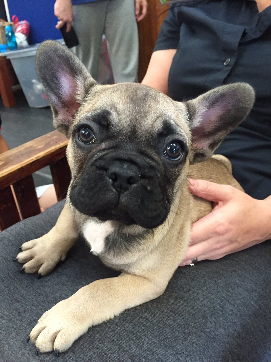 Meet our new family member Hudson #9weeksold #frenchbulldog