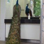 多摩動物公園行ったら男子トイレにクジャク居てワロタ https://t.co/uq8ZxVM5TP
