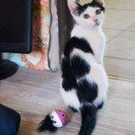 Котик ищет домик! К лотку приучен, здоров, ласков и игрив. 89172230808 #казань https://t.co/ceildPyHlv