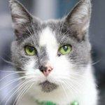 GRAY BOY GOT ADOPTED! @Hospice_Hearts #Urbana #IL https://t.co/PzddOYQwRU #CatsOfTwitter #HappyTails #ForeverHome https://t.co/KLFUTgujPI