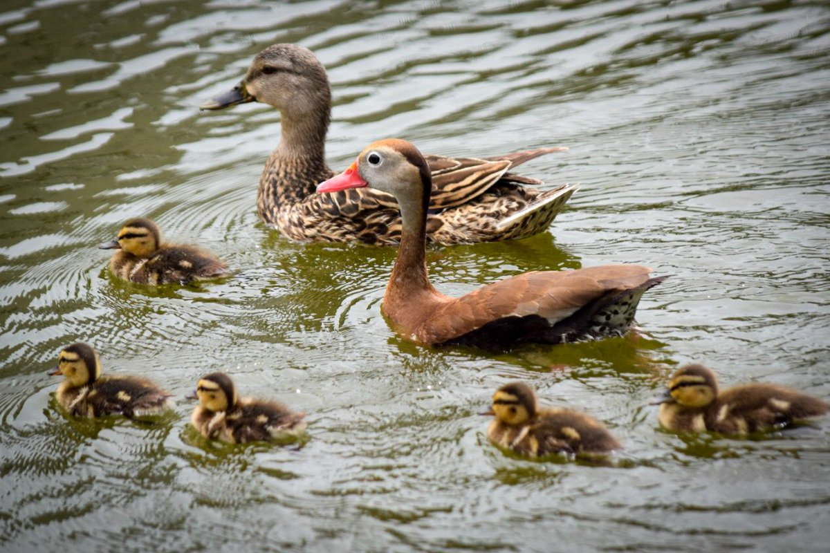 This black bellied whistling #duck is never in OK. Got lost in migration route south. Was accepted & is now a daddy! https://t.co/VCfdFXynbH