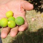 Les citronniers de Sbikha ont soif. #agriculture #Tunisie #Eau https://t.co/217ccSfYxN https://t.co/AZtnmS77qZ