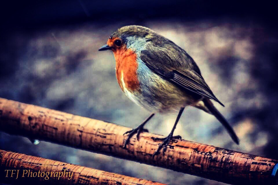 #robin #rods #carpfishing #<b>Wildlife</b> #nature @Xcelbaits https://t.co/9mog9rhuGR