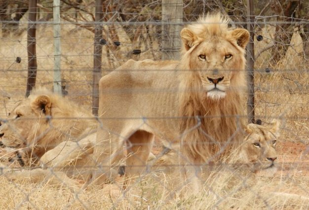 Warning issued to the breeder @NSPCA_SA will continue to see to the welfare of these #Lions https://t.co/cGb4dEwxR4 https://t.co/Fukt1enjtj