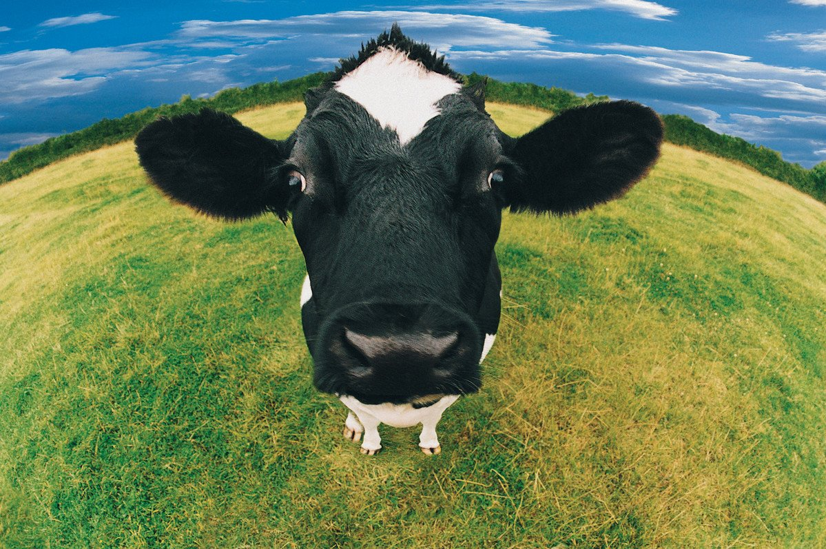Cows are amazing creatures that nurture friendships & become excited by intellectual challenges #CowAppreciationDay https://t.co/JanhZeRg3p