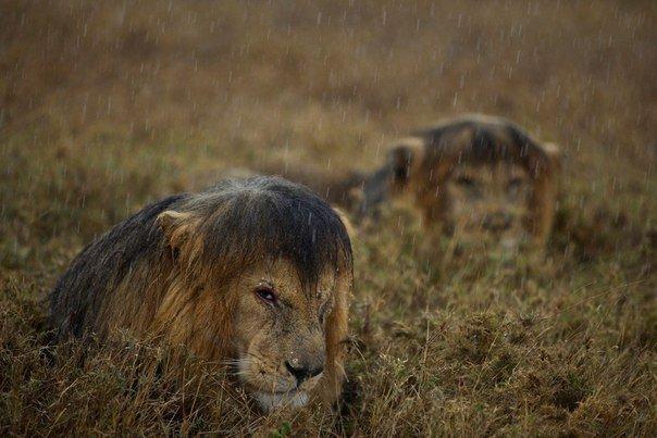Львы под дождём:) https://t.co/FN7mGeylvG
