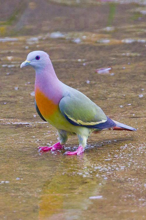 Rare Pink Necked Green Pigeon: https://t.co/IqBgNBaQrG