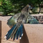 #Roadrunner sunning on a warm afternoon displaying full #color By Roy Chandler. #NMLife #NewMexico #newmexicotrue https://t.co/U8KrEP4C8W