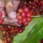Más de 300 millones de dólares en divisas generarán cafés especiales hondureños https://t.co/Nv8jw6ozPu