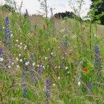 Wild flowers at #CaistorRomanTown last week #Norfolk #wildlife 2 habitats: hay #meadow and #Roman walls https://t.co/qpPK5ZdhJX
