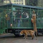 В Чунцин открылся передвижной зоопарк, где каждый желающий зверь может полюбоваться на перемещающихся в клетке людей https://t.co/2TK0BphKcq