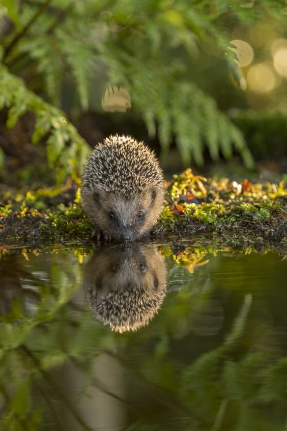 Young hedgehog reflection | Photography by ©Jan Dolfing https://t.co/m69ViZIvqO