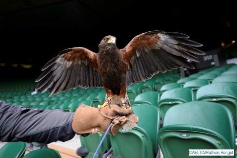テニスの聖地・ウィンブルドンのコートは、ルーファスという鷹によって守られています。鳩によるコートへの乱入を防ぐことで、スムーズな試合進行ができているのだとか。正に、影の立役者。#wimbledon https://t.co/8mIJIWVDG6