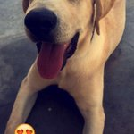 Alguien quiere adoptar a Lucas ?  Labrador de 6 meses https://t.co/u9HqLb2aO5