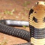 Nandi snake lover earns respect for his unusual skill