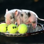 #winitwednesday RT with a piggy pun #Wimbledon2016 name for our sporty piglet to win 4 tickets for the weekend. https://t.co/FBJznRom3f