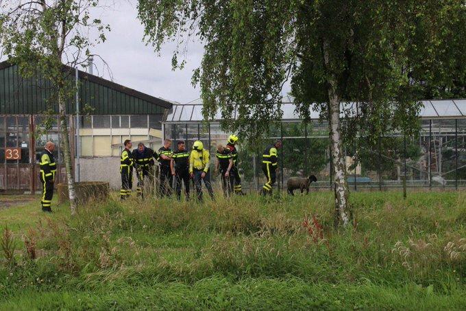 Dier in nood aan de Grote Woerdlaan Naaldwijk betrof een schaap die was gaan badderen in de sloot. Was zo eruit https://t.co/47FVmVf0WW