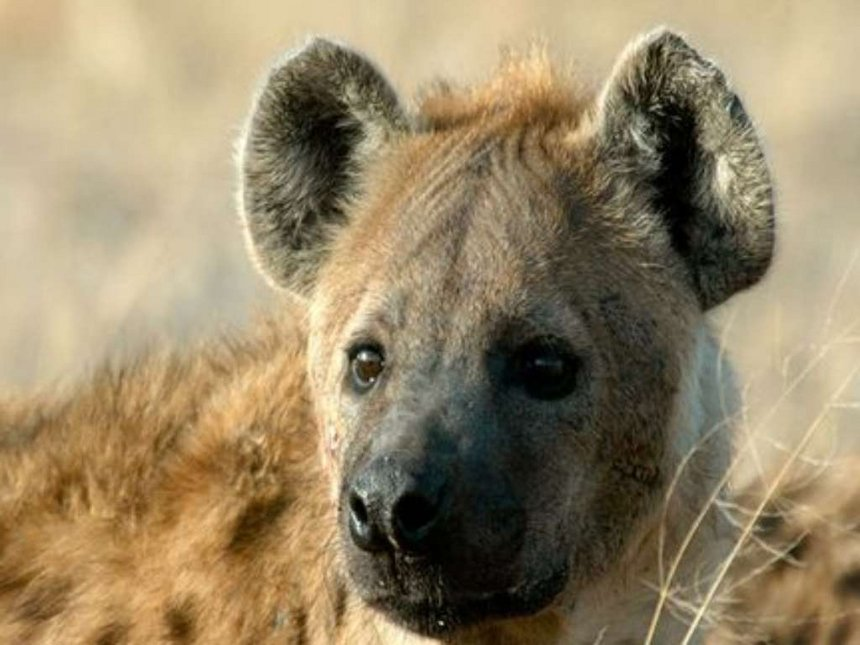 Man found dead after suspected hyena attack in Ongata Rongai