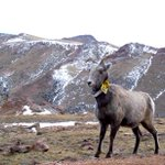 The majestic bighorn sheep are some of our favorite residents of Pikes Peak. #WildlifeWednesday #PikesPeak #Bighorn https://t.co/p4ECfMz8JY