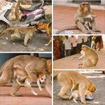 कुत्ते से लड़कर एक कुत्ते के बच्चे को बचाया इस बंदर ने और खाना मिलने पर पहले उस बच्चे को खिलाया...!! Heart Touching. https://t.co/HC7wvGg119