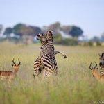 RT willbl: Fighting Zebras. Okavango Delta, Botswana. https://t.co/xDBENNtyV9