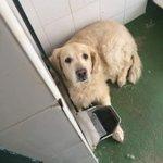 Este precioso Golden ha sido abandonado en una perrera de jerez, necesita acogida urgente, tlf 651191294, gracias. https://t.co/UFXflEVVGN