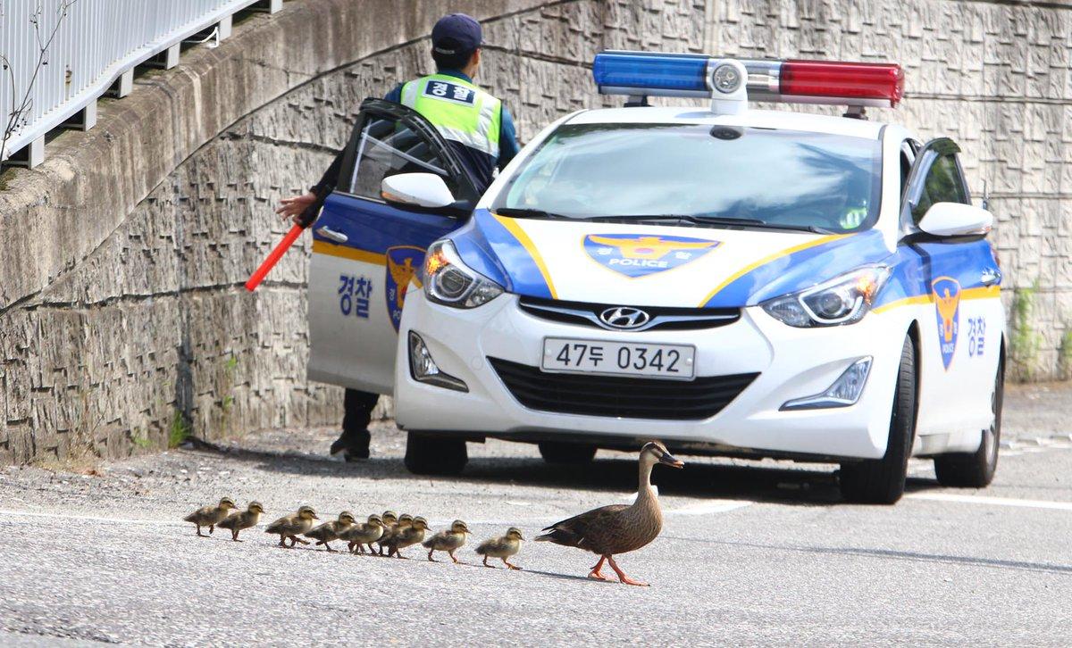 경남도청 생태연못에서 3일간 새끼를 키운 어미 흰뺨검둥오리가 오늘 새끼 11마리를 데리고 1km 떨어지 창원천으로 안전하게 이송했습니다. 경찰관의 경호를 받아가면서요. https://t.co/MnReuiR48g